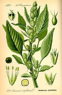 Illustration Amaranthus retroflexus0