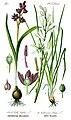 Illustration Scilla bifolia0 clean.jpg