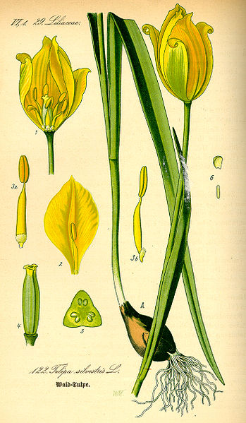 Plik:Illustration Tulipa sylvestris0.jpg
