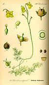 Illustration Utricularia vulgaris0