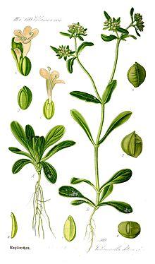 Салат из кукурузного салата Семена салата