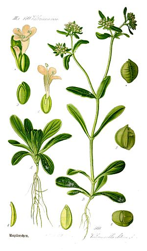 Valerianella locusta - Valerianella locusta illustration by Thomé (1885) showing the plant, flower, and seed.