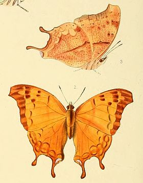 Illustrations of new species of exotic butterflies Nymphalis I, Charaxes zoolina.jpg