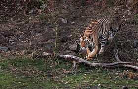 Images of Tiger at Jim Corbett National Park.jpg