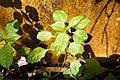 Impatiens mackeyana subsp. claeri-Jardin botanique Meise (3).jpg
