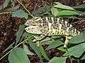 Indian Chameleon Chamaeleo zeylanicus SGNP by Raju Kasambe DSCF0251 (1) 04.jpg