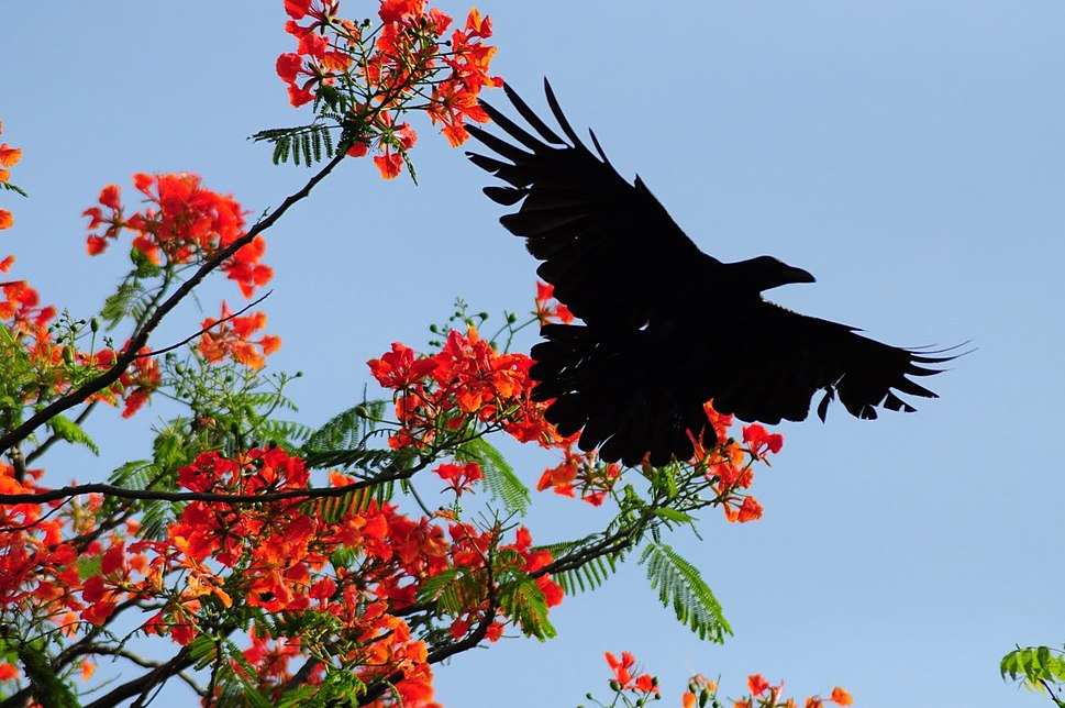 Indian Crow vs