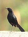 Indian Robin Saxicoloides fulicatus male by Dr. Raju Kasambe DSCN5908 (3).jpg