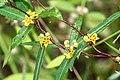 Indian Sarsaparilla - Hemidesmus indicus.(നറുനീണ്ടി, നറുനണ്ടി, നന്നാറി.) (31570237465).jpg