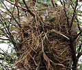 Indian Silverbill (Lonchura malabarica) in nest on Acacia W IMG 0023.jpg