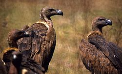Indian White-backed Vultures (Gyps bengalensis) (20014162659).jpg
