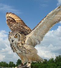 Indian eagle owl wings spread