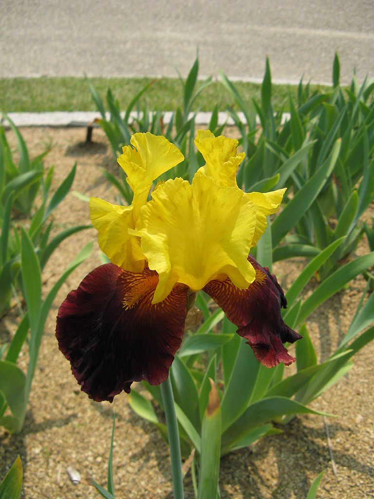Japan Rags Wiki >> File:Iris 'Glad Rags'1.jpg - Wikimedia Commons
