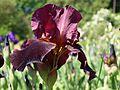 Iris 2 (Poltava Botanical garden).jpg