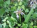 Iris fétide dans le vexin.jpg