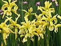Iris halophila 01.JPG