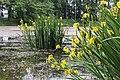 Iris pseudacorus TK 2021-06-06 2.jpg
