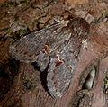 Iron Prominent. Notodonta dromedarius. (6285703723).jpg