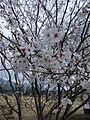 Isshingyo big cherry tree 02.jpg