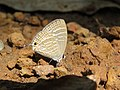 Jamides celeno - Common Cerulean mud puddling at Peravoor (7).jpg