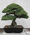 Japanese White Pine (Pinus parviflora) (3504889333).jpg