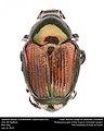 Japanese beetle (Scarabaeidae, Popillia japonica) (28296517462).jpg
