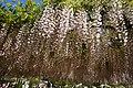 Japanese wisteria, Ashikaga Flower Park 10.jpg