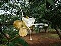 Jatobaflower.jpg