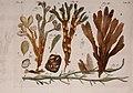 Jobi Basteri med. doct., Acad. Caes. Opuscula subseciva - observationes miscellaneas de animalculis et plantis, quibusdam marinis, eorumque ovariis et seminibus continentia (1760) (14769249562).jpg