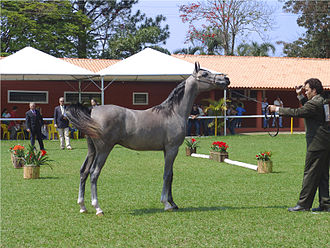 Gray (horse) - This yearling Arabian horse originally chestnut or bay, could be misclassified as roan. This stage is often called rose or iron gray.