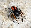 Jumping Spider. Philaeus chrysops probably (45428463911).jpg