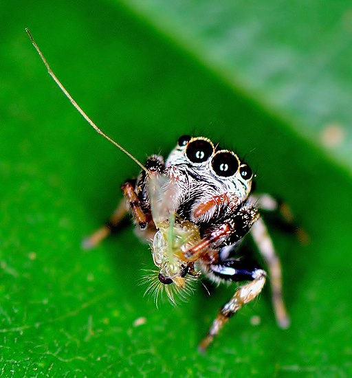 Jumping spider hugging its catch