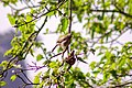 Jungle babbler at Chitwan National Park.jpg
