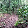 Jungle path in the Darién Gap.jpg