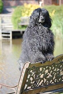 Portuguese Water Dog Wikipedia