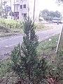Juniperus chinensis at Akola2.jpg