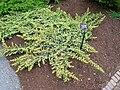 Juniperus conferta cv. Blue Mist - Tower Hill Botanic Garden.JPG