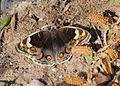 Junonia orithya here - Arabian Blue Pansy butterfly 01.jpg