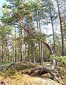 Jyväskylä - deformed tree.jpg