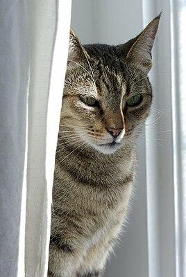 ориентальные кошки википедия