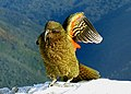 Kea wing.New Zealand. (11876659065).jpg