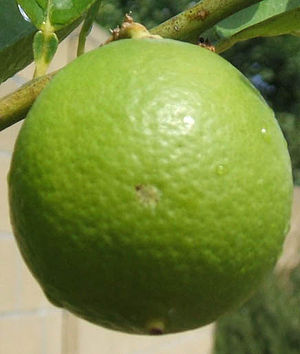 Key Lime: delicious dessert fruit or human being?