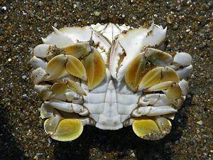Matutidae - Male Ashtoret lunaris, ventral side