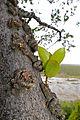 Knob Fig (Ficus sansibarica) (17122389257).jpg