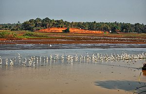 Geography of Thrissur - A view of Kole Wetlands with birds, a scene from Thomana in Thrissur Metropolitan Area