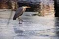 Koenigswusterhausen Ardea cinerea on ice 04.12.2010 17-22-13.JPG
