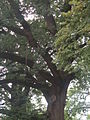 Konak village, Serbia, old oak tree in the castle courtyard.jpg