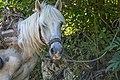 Konj sa Vlaških planina.jpg