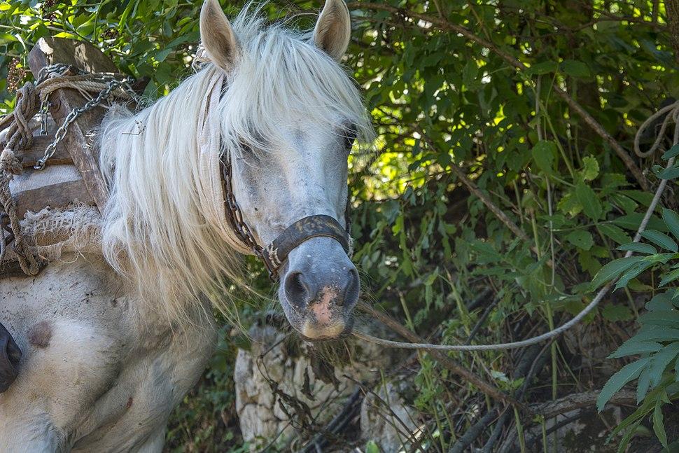 Konj sa Vlaških planina
