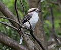 Kookaburra (8485327902).jpg